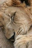 sommeil de lion Image stock