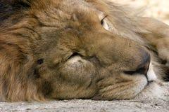 Sommeil de lion Photo libre de droits