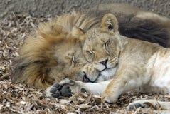 Sommeil de lion et de lionne Photo stock