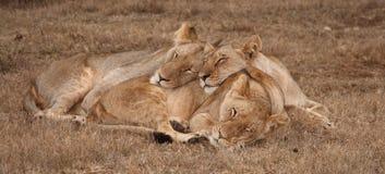 Sommeil de lions. Photo stock