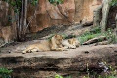 Sommeil de lions Photo stock