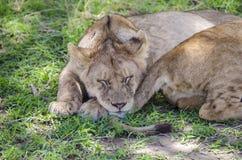 Sommeil de lions de Jung photos libres de droits