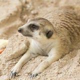 Sommeil de Meerkat sur le sable Photos stock