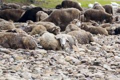 Sommeil de moutons sur la berge Photographie stock libre de droits