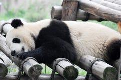 Sommeil de panda Photos libres de droits