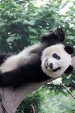 Sommeil de panda sur l'arbre Image stock