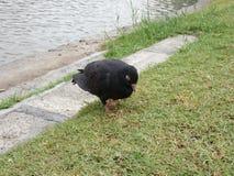 Sommeil de pigeon Images libres de droits