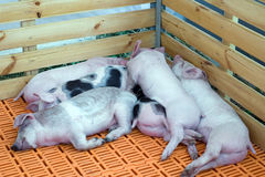 Sommeil de Piglings Photographie stock