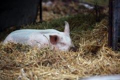 Sommeil de porc Images stock