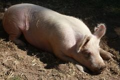 Sommeil de porc Image libre de droits