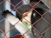 Sommeil de singe Photographie stock libre de droits