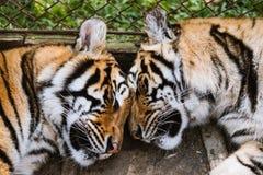 Sommeil de tigre du plan rapproché deux Photos stock