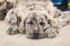 Sommeil espagnol de chien de mastiff Images stock