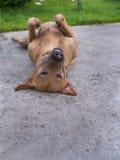 Sommeil et sourire de chien de Brown Photos stock
