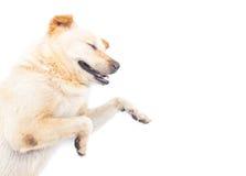 Sommeil heureux de chien sur le fond blanc Photos stock