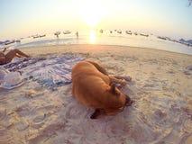 Sommeil heureux mon chien, dans le navy& x27 ; plage de s Image libre de droits
