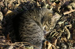 Sommeil Kitty Photographie stock