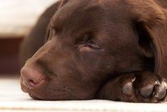 Sommeil Labrador Photos stock