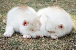 Sommeil mignon de chiots de chien de traîneau sibérien Image stock