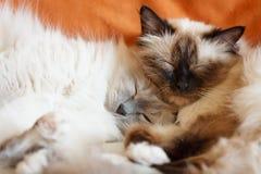 Sommeil mignon de deux chats Photographie stock libre de droits