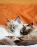 Sommeil mignon de deux chats Image libre de droits