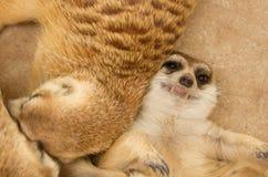 Sommeil mignon de meerkat Image stock