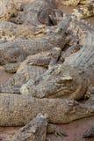Sommeil multiple de crocodile dans l'eau Image stock
