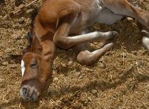 Sommeil nouveau-né de poulain Photo stock