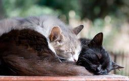 Sommeil paresseux de chats Photos stock