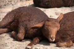 Sommeil pelucheux de moutons de bébé images libres de droits
