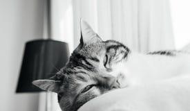 Sommeil profond extrêmement mignon de chat sur la couverture blanche de laine Photographie stock libre de droits
