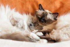 Sommeil sacré de deux chats de birman Images stock
