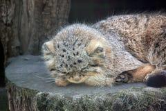 Sommeil sauvage d'Otocolobus Manul CUB de chats photo libre de droits