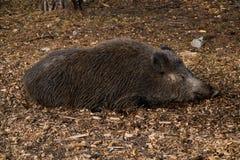 Sommeil sauvage de porc Photographie stock libre de droits