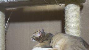Sommeil somali adulte de queue écourtée et de chaton du Mékong de chat sur un complexe pour des chats banque de vidéos