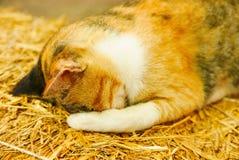Sommeil thaïlandais tellement mignon de chat sur la paille, chat jaune Image libre de droits