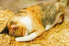 Sommeil thaïlandais tellement mignon de chat sur la paille, chat jaune Images libres de droits