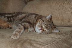 Sommeils britanniques de chat de chocolat Image libre de droits