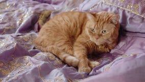Sommeils britanniques rouges de chat courbés dans le lit couvert de couverture violette clips vidéos