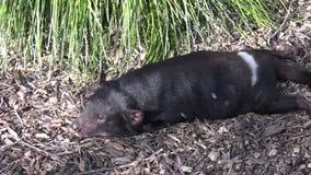 Sommeils de diable tasmanien banque de vidéos
