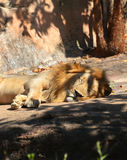 Sommeils de lion Image stock