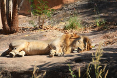 Sommeils de lion Photos libres de droits