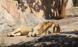 Sommeils de lion Images stock