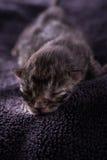 Sommeils tigrés d'un jour d'un chaton photos stock