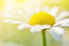 Sommer blüht Kamillenblüten auf Wiese Stockfotografie