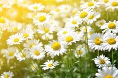 Sommer blüht Kamillenblüten auf Wiese Lizenzfreie Stockfotos