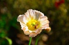 Sommer-Blume mit Biene Stockfoto