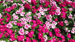 Sommer-Brise Impatiens stock footage