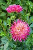 Sommer dahila Blume Lizenzfreie Stockbilder