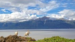 Sommer Dall-Schafe Lizenzfreies Stockbild